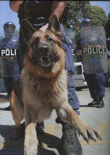 Police Dog TITAN - stabbed to death during a siege at Seven Hills, NSW.