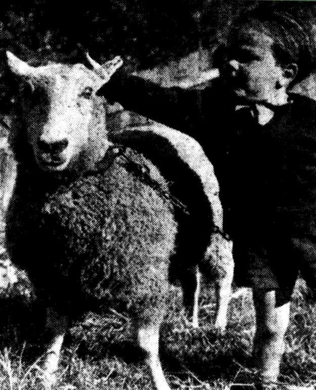 MARK JENKINGS, 3, son of Vaucluse constable, Harry Jenkings, pats his new pal, Samson, the wandering sheep.