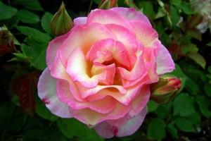 Floribunda Rose 'Angela Rose Taylor' (Rosa)